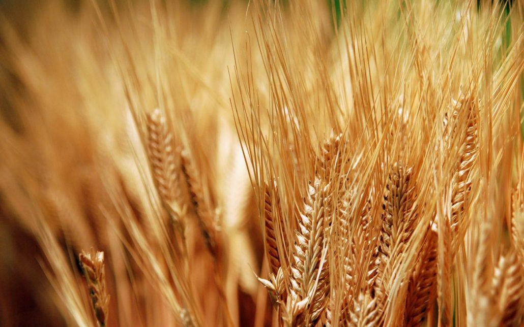 Wheat2015010212 1030x644 - Сельское хозяйство