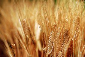 Wheat2015010212 283x189 - Сельское хозяйство