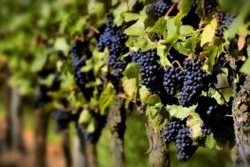 201509140026 kashamalasha com 283x189 - Субсидии виноградарям