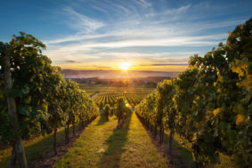 Okanagan Vineyard at Sunset 44863924 1200pxW 283x189 - Субсидии виноделам
