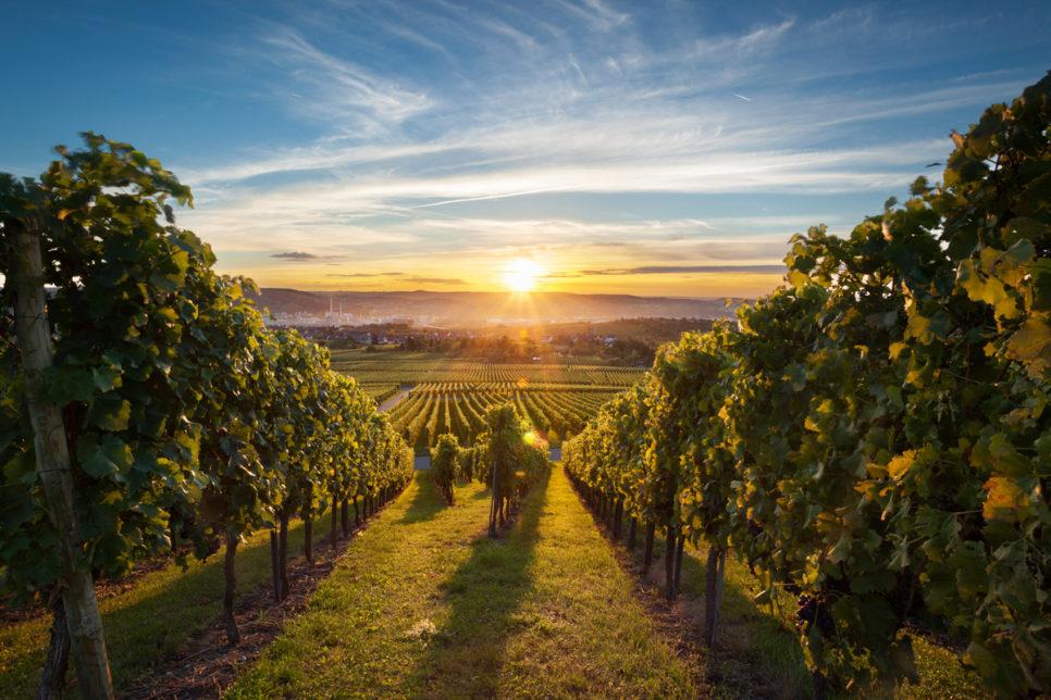Okanagan Vineyard at Sunset 44863924 1200pxW 966x644 - Субсидии виноделам